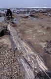 Esaminando albero fossilizzato Fotografia Stock