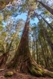 Esaminando alto sull'albero di eucalyptus alto in Mt PA nazionale del campo Fotografie Stock