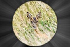 Esaminando attraverso il riflescope di un cacciatore un cervo fotografia stock