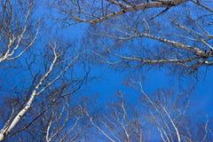 Esaminando il legno di betulla del cielo in primavera Immagine Stock Libera da Diritti