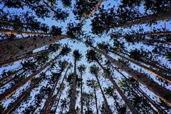 Esaminando in su gli alberi di pino alti Immagine Stock