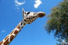 Esaminando in su la giraffa Fotografia Stock