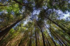 Esaminando verso l'alto gli alberi Immagini Stock