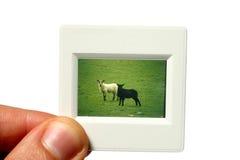 Esaminare una diapositiva di 35mm Fotografia Stock