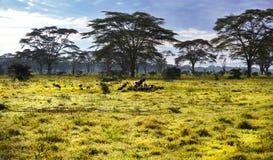 Esamini un gruppo di avvoltoi in Africa sul safari Immagini Stock