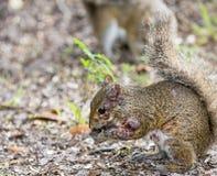 Esantema dello scoiattolo Immagine Stock