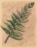 Esboço botânico do ofício da folha do ramo da samambaia da samambaia Foto de Stock Royalty Free