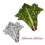 Esboço da alface romana ou da alface romana com folha verde ilustração do vetor