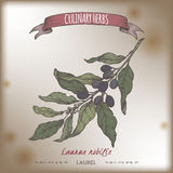 Esboço da cor do vetor do louro de baía dos nobilis do Laurus aka Coleção culinária das ervas ilustração stock