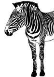 Esboço da zebra Imagem de Stock