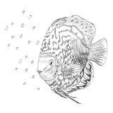 Esboço de um peixe Fotos de Stock Royalty Free