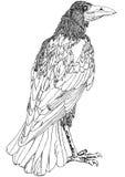 Esboço do corvo de Arogant Imagens de Stock Royalty Free