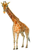 Esboço do girafa da aquarela Imagem de Stock