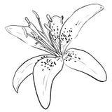 Esboço do vetor da flor Foto de Stock Royalty Free