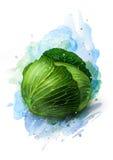 Esboço fresco do vegetal da couve verde Imagem de Stock