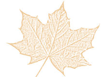 Esboço marrom da folha de bordo em um fundo branco Imagem de Stock Royalty Free