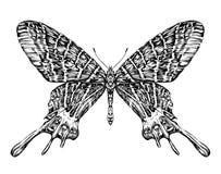 Esboço realístico detalhado de uma traça da borboleta Imagens de Stock