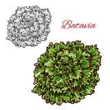 Esboço vegetal da folha do verde da salada da alface da Batávia ilustração do vetor
