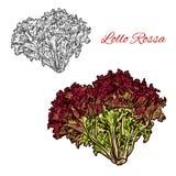Esboço vermelho das hortaliças da alface do rossa do lollo ilustração royalty free