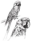 Esboços do papagaio Foto de Stock Royalty Free