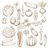 Esboços retros dos vegetais organicamente saudáveis Fotografia de Stock Royalty Free
