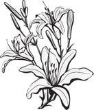 Esboço de flores do lírio Imagens de Stock Royalty Free