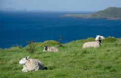 Escócia - carneiros Imagem de Stock Royalty Free