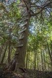 Escada da árvore Imagens de Stock