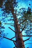 Escada do ramo de árvore Imagem de Stock