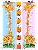 Escala de la altura de las jirafas Imágenes de archivo libres de regalías