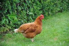 Escala livre e galinha orgânica Imagens de Stock