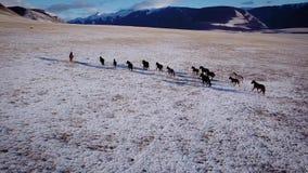 Escala rápida do inverno do prado selvagem aéreo da neve do inverno do rebanho do cavalo do mustang Alimento pobre Cavalos feroze video estoque