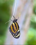 Escalada alaranjada da borboleta Fotografia de Stock