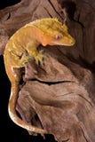 Escalada com crista do gecko Fotografia de Stock Royalty Free
