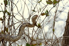 Escalada da serpente de rato preto imagens de stock