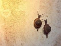 A escalada de 2 lesmas na parede Imagens de Stock
