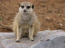 Escalada de Meerkats Imagenes de archivo
