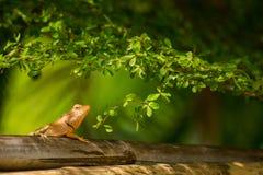 Escalada do camale?o no bambu fotografia de stock