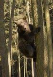 Escalada do filhote de urso Foto de Stock Royalty Free