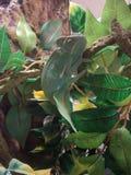 Escalada encoberta do camaleão Imagem de Stock Royalty Free