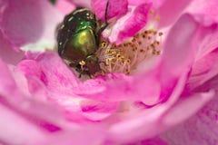 Escalada verde da forra no aurata cor-de-rosa do Cetonia da pétala cor-de-rosa imagem de stock