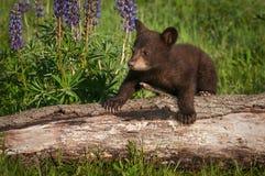 Escaladas americanas do Ursus de Cub de urso preto sobre o log Imagem de Stock Royalty Free