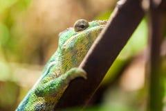 Escaladas do camaleão da pantera em uma árvore fotos de stock