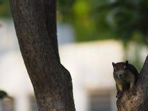 Escaladas do esquilo nas escaladas do treeSquirrel do tronco na natureza animal do roedor da árvore do tronco imagem de stock royalty free
