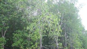 Escaladas do macaco nas árvores dos manguezais video estoque