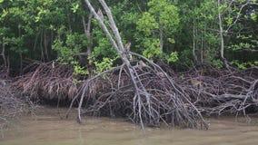Escaladas do macaco nas árvores dos manguezais vídeos de arquivo