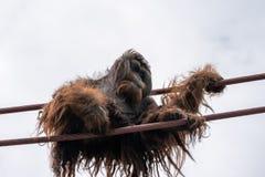 Escaladas do orangotango na O-linha curso da corda no dia nublado imagem de stock