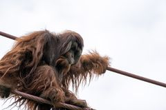 Escaladas do orangotango na O-linha curso da corda no parque zoológico nacional de Smithsonian no Washington DC fotos de stock royalty free