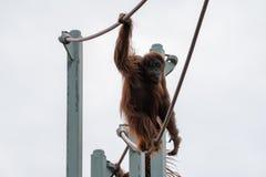 Escaladas do orangotango na O-linha curso da corda no parque zool?gico nacional de Smithsonian no Washington DC imagens de stock royalty free