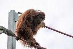 Escaladas do orangotango na O-linha curso da corda no parque zool?gico nacional de Smithsonian no Washington DC foto de stock